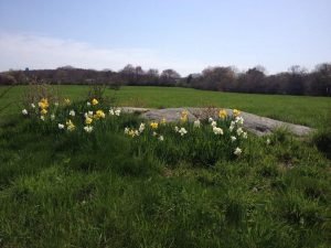 BearskinNeck.net - Daffodils at Waring Field, Rockport. Via