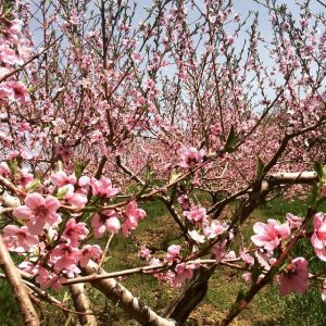 Blooming peach trees at Cider Hill Farm, Amesbury